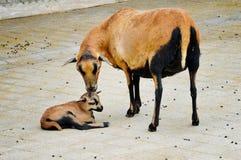 喀麦隆绵羊和羊羔 库存照片