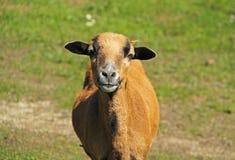 喀麦隆绵羊画象  图库摄影