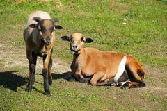 喀麦隆绵羊 免版税图库摄影