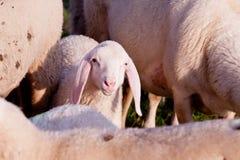 喂人们,我是吉姆羊羔! 库存图片