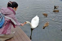 喂养一只天鹅和有些鸭子在水中 库存照片