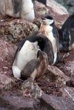喂养一只小鸡的Chinstrap企鹅在南极洲 免版税库存图片