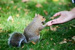 喂养一只灰鼠的一只人的手在公园 免版税库存照片