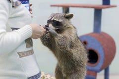 喂养一头浣熊用手的妇女在动物园里 免版税库存照片