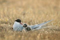 喂养下一代的北极燕鸥 库存照片