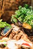 喂养他的一只大赫拉克勒斯甲虫的特写镜头 免版税库存照片