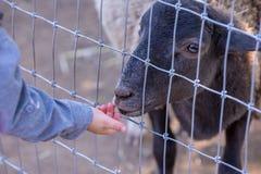 喂养在农场的小男孩一只绵羊 免版税图库摄影