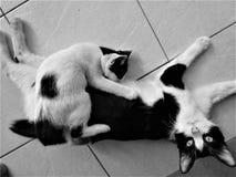 喂养在地板上的黑白母亲大小猫 免版税图库摄影