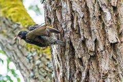 喂养在巢的共同的椋鸟的父母一只小鸡在t 库存图片