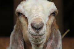 喂养在笼子,版本11的山羊 库存图片