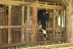 喂养在笼子,版本17的山羊 免版税库存照片