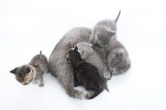 喂养她四只小猫的母亲猫 库存图片