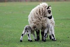 喂养她的羊羔的母羊新出生 免版税图库摄影
