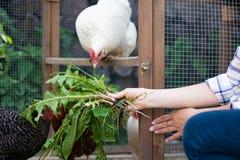 喂养她自由放养的鸡的少妇 下蛋母鸡和年轻女性农夫 吃健康有机 免版税库存图片