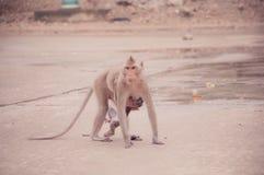 喂养子项的猴子 免版税库存图片