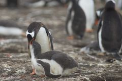 喂养它的在布里克岛的Gentoo企鹅小鸡 库存图片