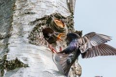 喂养它饥饿的婴孩的椋鸟科 库存照片