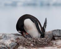 喂养年轻小鸡,南极半岛的嵌套成人Gentoo企鹅 库存照片