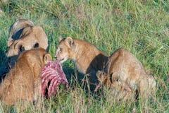 喂养斑马,塞伦盖蒂,坦桑尼亚的狮子自豪感 库存图片