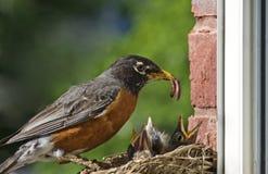 喂养母亲知更鸟的婴孩 库存照片