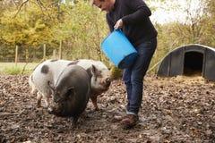 喂养罕见的品种猪的成熟人在庭院里 图库摄影