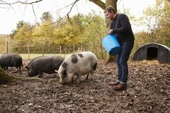 喂养罕见的品种猪的成熟人在庭院里 库存图片