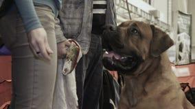 喂养美丽的训练的大型猛犬狗的女性所有者在宠物陈列,守纪 影视素材