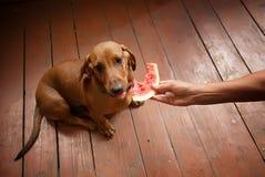 喂养西瓜达克斯猎犬狗 免版税库存照片