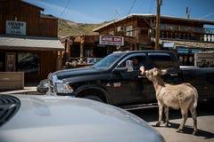 喂养野生驮货驴子的汽车的人在市路线的66 Oatman在亚利桑那 免版税库存图片