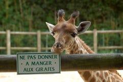 喂养长颈鹿没有 免版税库存图片