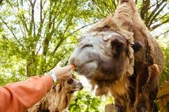 喂养骆驼红萝卜在印度尼西亚的徒步旅行队公园 免版税库存图片
