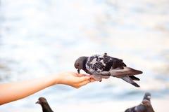 喂养鸠在威尼斯,被弄脏的背景 免版税图库摄影