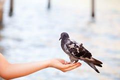 喂养鸠在威尼斯,被弄脏的背景 免版税库存图片