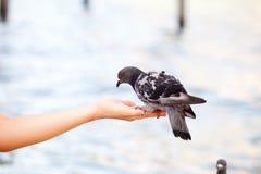 喂养鸠在威尼斯,被弄脏的背景 库存图片