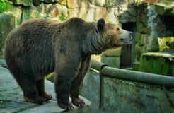 喂熊 库存图片