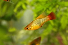 喂飞翅新月鱼新月鱼男性Xiphophorus maculatus热带水族馆鱼 库存照片