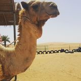 喂骆驼热 库存图片