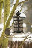 喂养一个黑鹂在冬天 免版税图库摄影