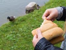 喂养一只公野鸭 免版税库存图片