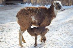 喂养一只新出生的羊羔的母大角野绵羊 库存照片