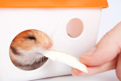 喂养一只仓鼠的人在房子里 库存照片