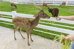 喂养一头幼小鹿的游人 免版税图库摄影