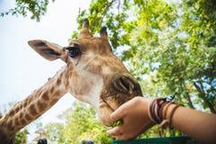 喂养一头长颈鹿的女孩在动物园里 库存图片