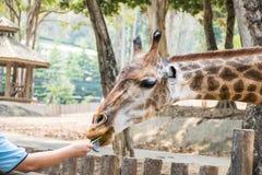 喂养在徒步旅行队的长颈鹿 免版税库存照片
