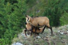 喂养她的孩子的女性羚羊 免版税库存图片