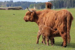喂养她的小牛的高地母牛的广角射击 免版税库存图片