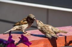 喂养她的小鸡的麻雀 图库摄影