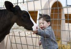 喂养小牛的小孩男孩 库存照片
