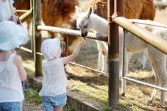 喂养小骆马的两个妹 图库摄影