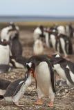 喂养小鸡-福克兰群岛的Gentoo企鹅 免版税库存照片